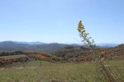 Solidago Max Patch